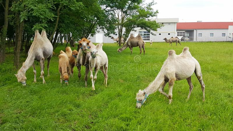 Kamele auf dem Feld lizenzfreies stockfoto