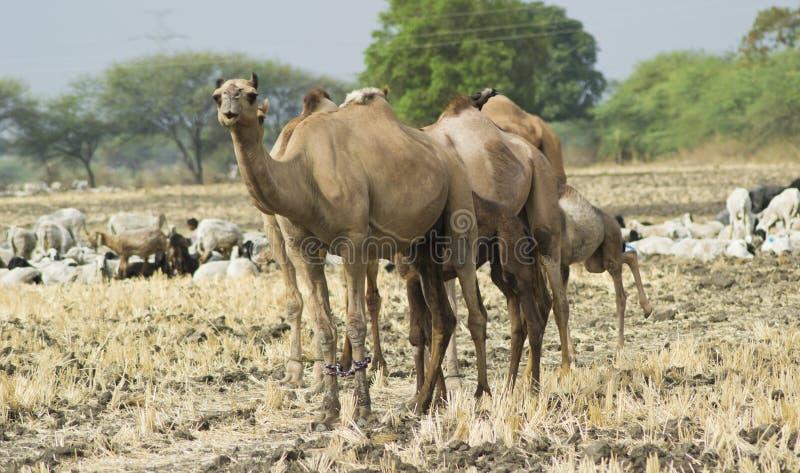 Kamele auf dem Gebiet stockfotografie