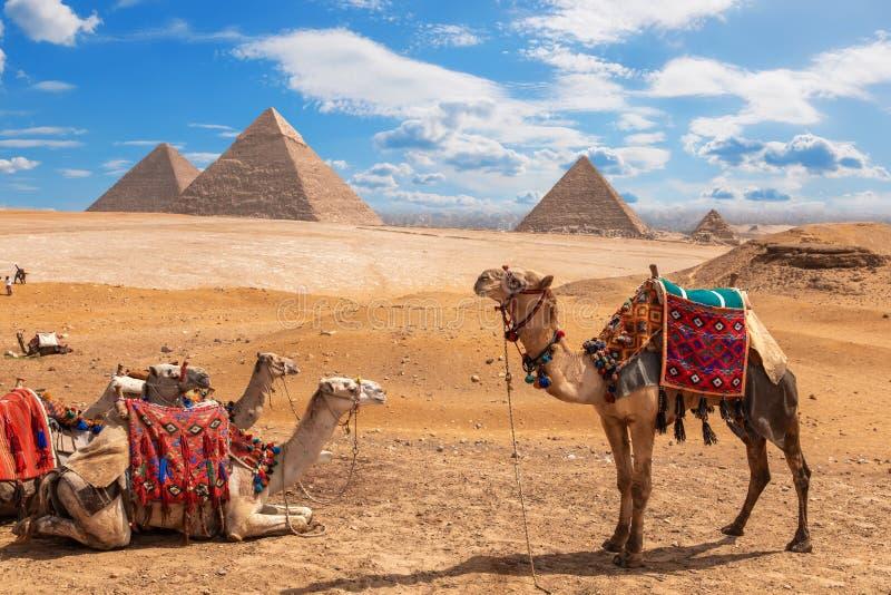 Kamele auf einem Halt nahe den drei Pyramiden von Giseh lizenzfreie stockfotografie