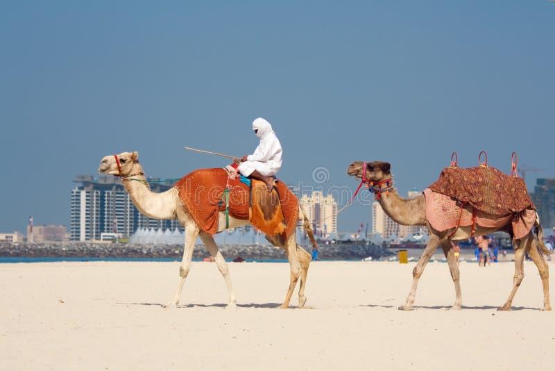 Kamele auf Jumeirah Strand, Dubai stockbild
