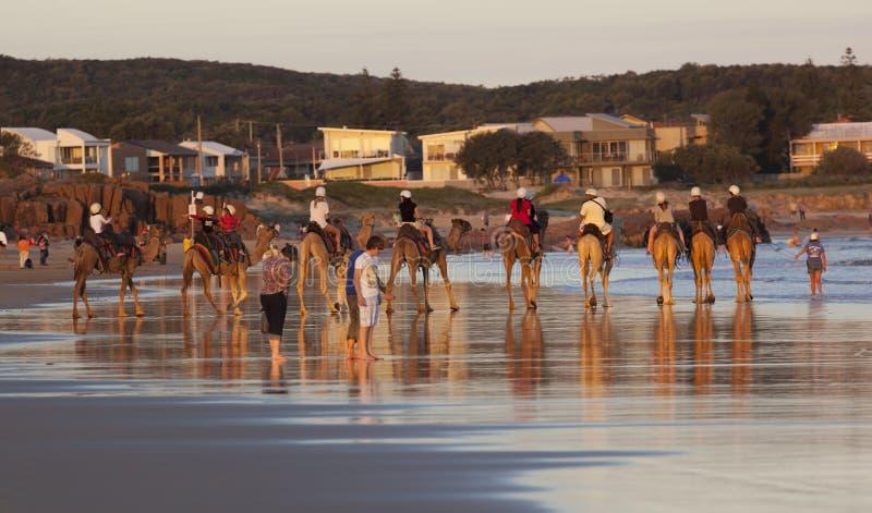 Kamele auf Stockton-Strand.  Anna Bay. Australien. stockfotos