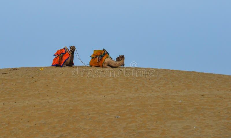 Kamele auf Thar-W?ste in Jaisalmer, Indien lizenzfreie stockfotos