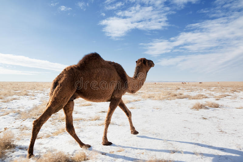 Kamele auf Winterwüste stockfotos