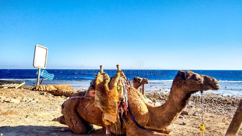 Kamele bei rotem meeres- Ägypten lizenzfreie stockbilder