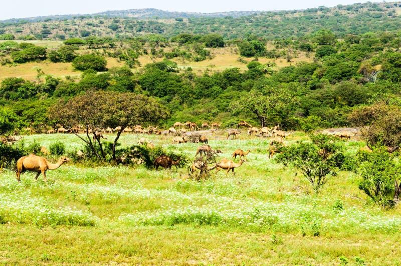 Kamele in den Hochländern von Salalah, Dhofar, Oman lizenzfreie stockfotos