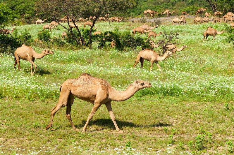 Kamele in den Hochländern von Salalah, Dhofar, Oman lizenzfreies stockbild