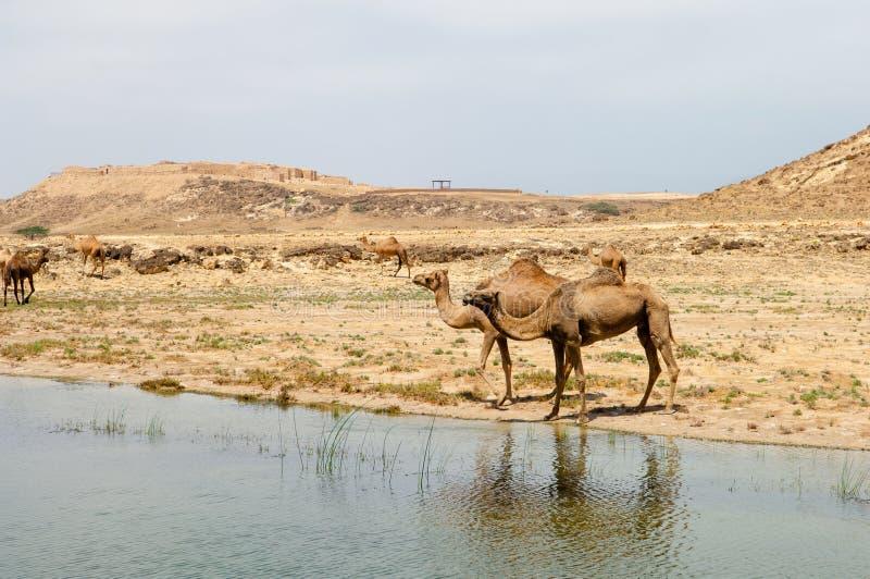 Kamele in den Hochländern von Salalah, Dhofar, Oman lizenzfreie stockfotografie