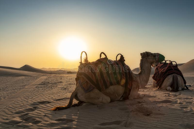 Kamele in der Abu Dhabi-Wüste mit Sonnenuntergang lizenzfreie stockfotografie