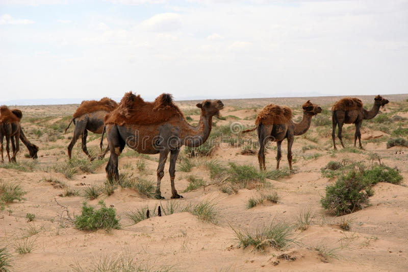Kamele in der Gobi-Wüste stockfotografie