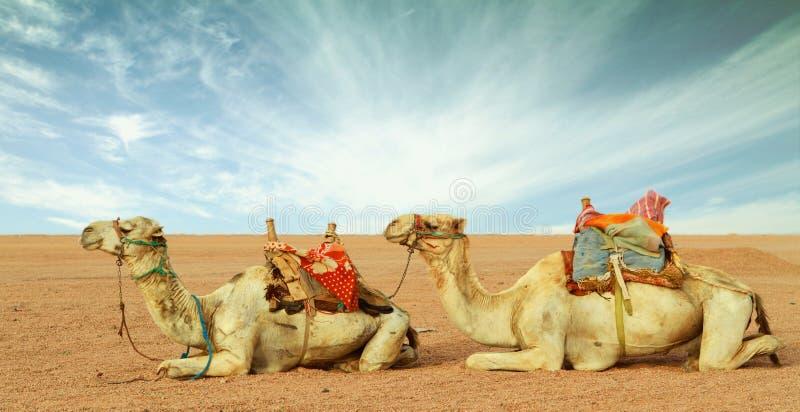 Kamele in der Wüste lizenzfreies stockfoto
