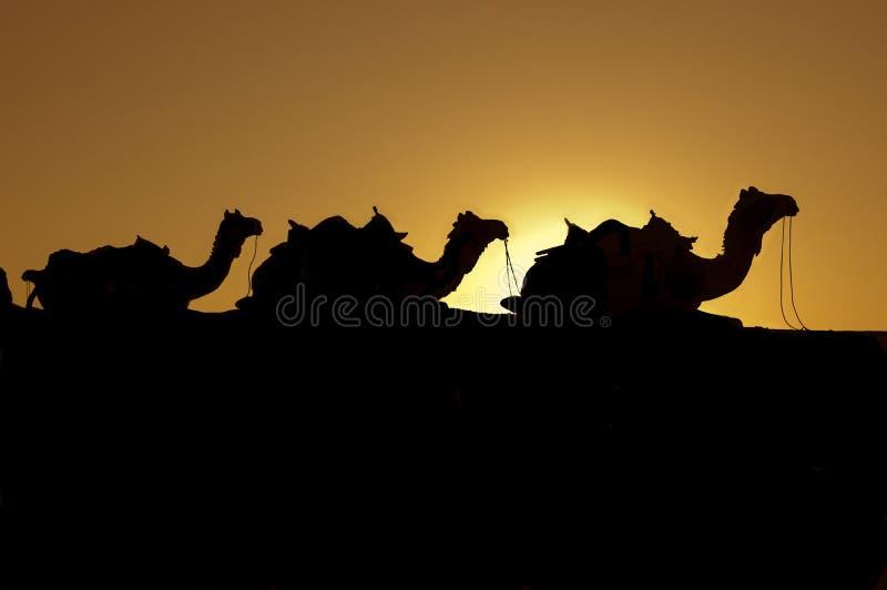 Kamele der Wüste stockfotos
