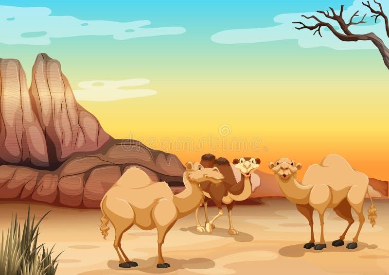 Kamele, die in der Wüste leben lizenzfreie abbildung