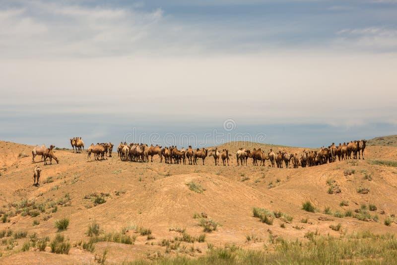 Kamele, die in der Wüste stillstehen Gobi-Wüste, Mongolei lizenzfreie stockfotos