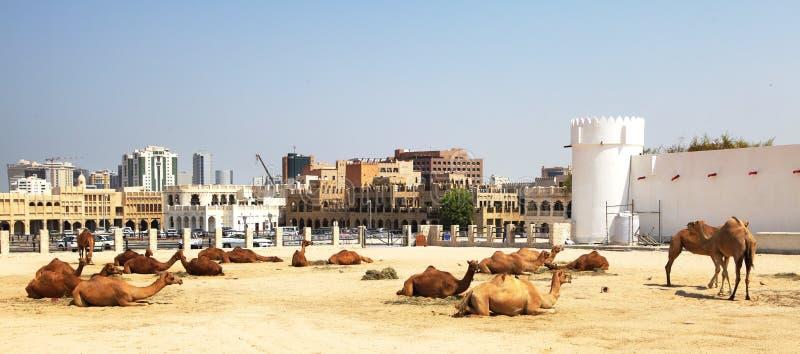 Kamele, die in zentralem Doha stillstehen lizenzfreies stockfoto