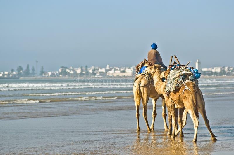 Kamele durch den Strand von Essauira in Marokko lizenzfreie stockfotografie
