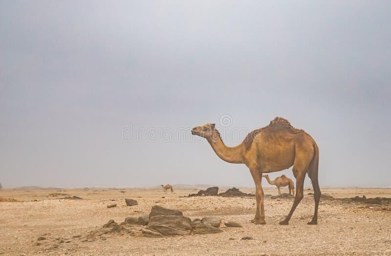 Kamele in einer Wüste in Oman lizenzfreie stockfotografie