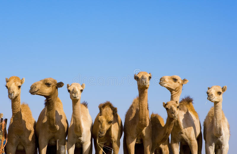 Kamele, Emiräte lizenzfreies stockbild