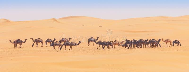 Kamele im leeren Viertel lizenzfreie stockfotos