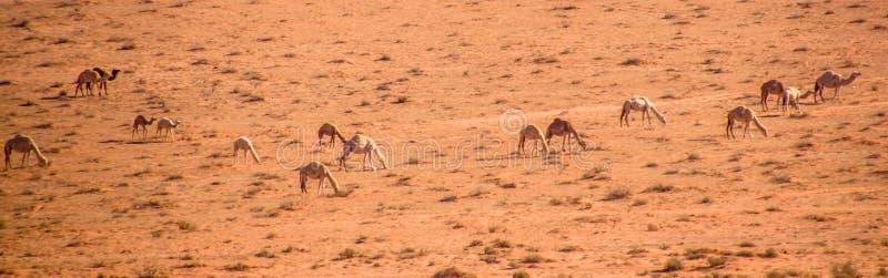 Kamele leben das Weiden lassen in Wadi Rum in Herden stockfotos