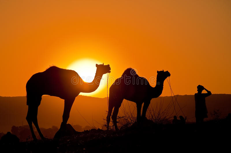 Kamele mit Mann am Sonnenaufgang stockbild