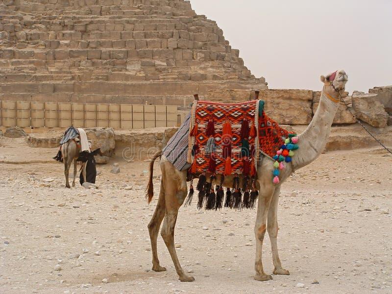 Kamele nahe zur Chefren Pyramide stockfotos
