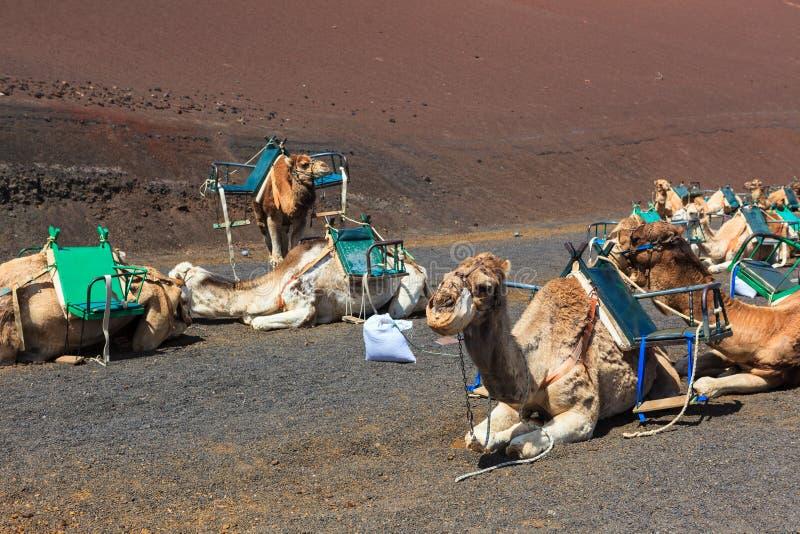 Kamele in Nationalpark Timanfaya auf Lanzarote stockbild