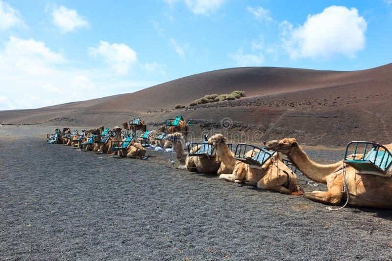 Kamele in Nationalpark Timanfaya auf Lanzarote lizenzfreies stockbild