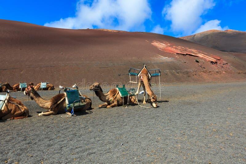 Kamele in Nationalpark Timanfaya auf Lanzarote lizenzfreie stockbilder