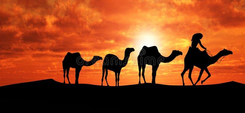 Kamele in Sahara stockfotos