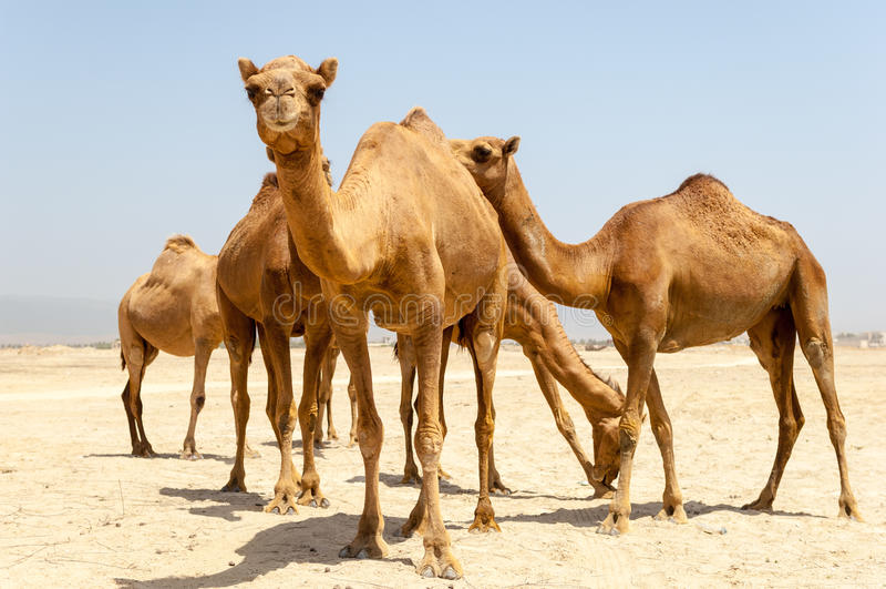Kamele am Strand von Salalah, Dhofar, Oman stockfotos