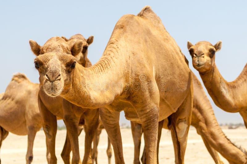 Kamele am Strand von Salalah, Dhofar, Oman lizenzfreie stockfotografie