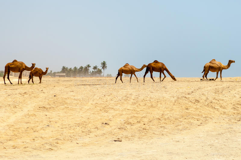 Kamele am Strand von Salalah, Dhofar, Oman lizenzfreies stockfoto
