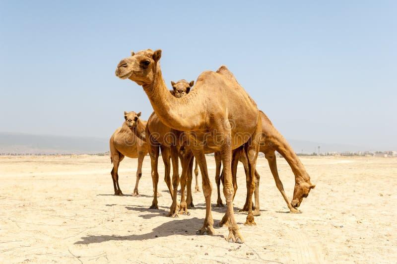 Kamele am Strand von Salalah, Dhofar, Oman stockfotografie