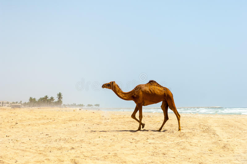 Kamele am Strand von Salalah, Dhofar, Oman stockbild
