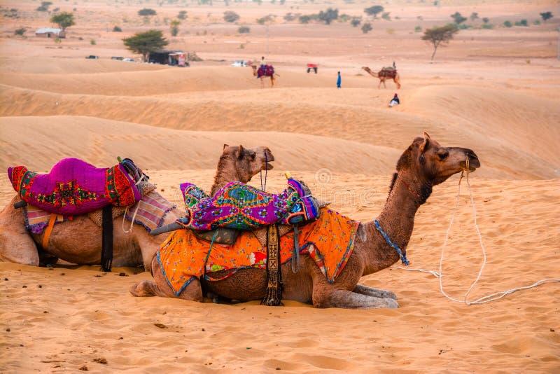 Kamele und Sanddünen stockfoto