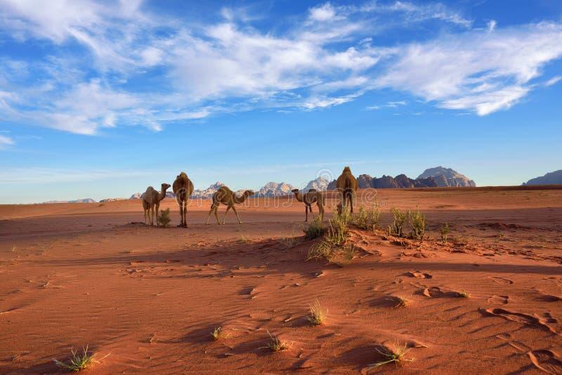 Kamele in Wadi Rum-Wüste lizenzfreies stockbild