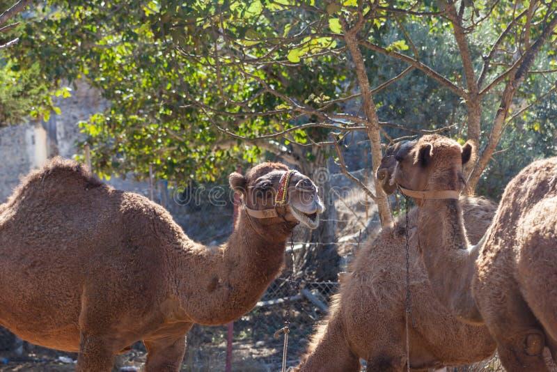 Kamelen in de spookstad van Kayakoy royalty-vrije stock afbeelding