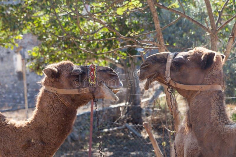 Kamelen in de spookstad van Kayakoy royalty-vrije stock fotografie