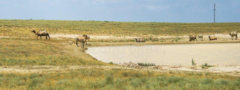 Kamelen in de woestijn van Aral stock afbeeldingen