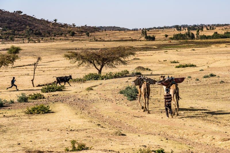 Kamelen in het Simien-Bergen Nationale Park in Noordelijk Ethiopië royalty-vrije stock foto's