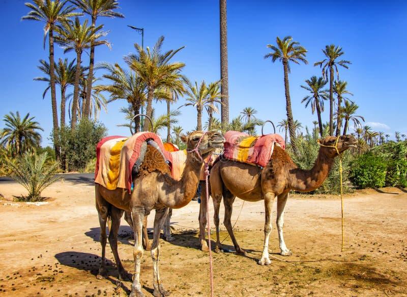 Kamelen met typische Berber-zadels in een Palmeraie dichtbij Marrakech, Marokko De woestijn van de Sahara is gesitueerd in Afrika stock fotografie
