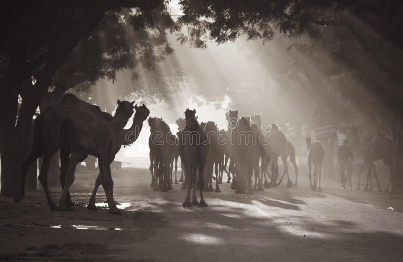 Kamelen onder zonnestralen royalty-vrije stock fotografie