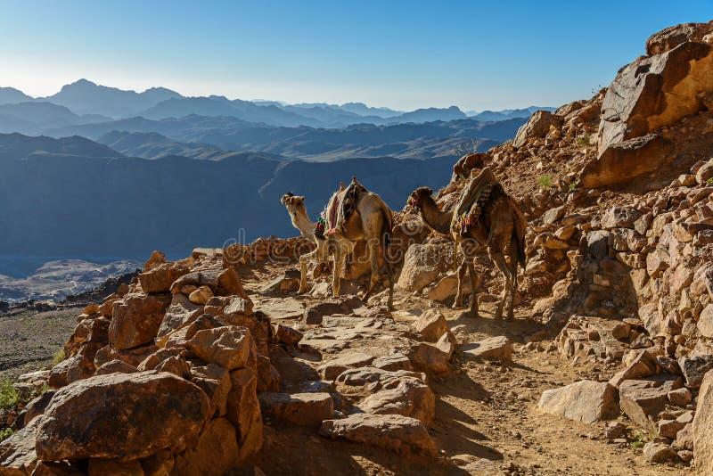Kamelen op bergsleep op de berg van Mozes, Sinai Egypte royalty-vrije stock foto