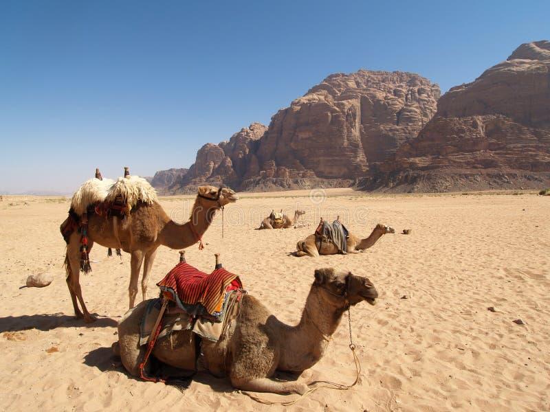 Kamelen op de Woestijn stock afbeelding