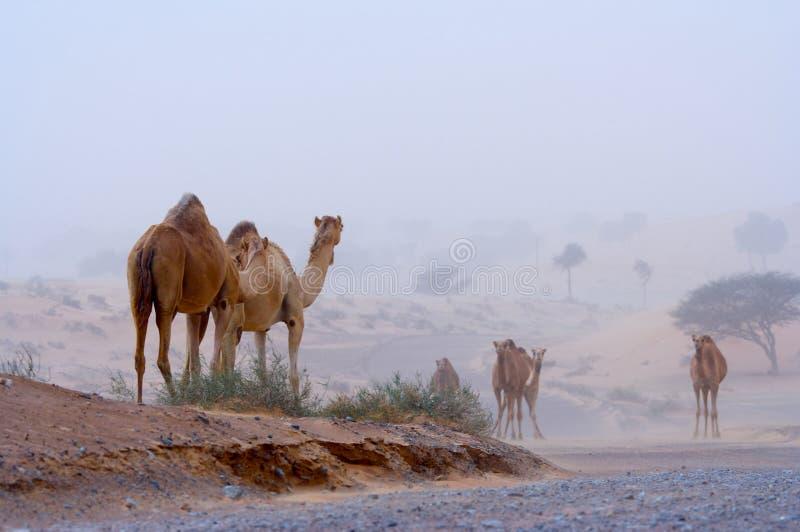 Kamelen op een woestijnweg stock afbeeldingen
