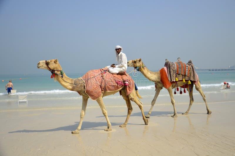 Kamelen, toeristen, strand, de Jachthaven van Doubai stock fotografie