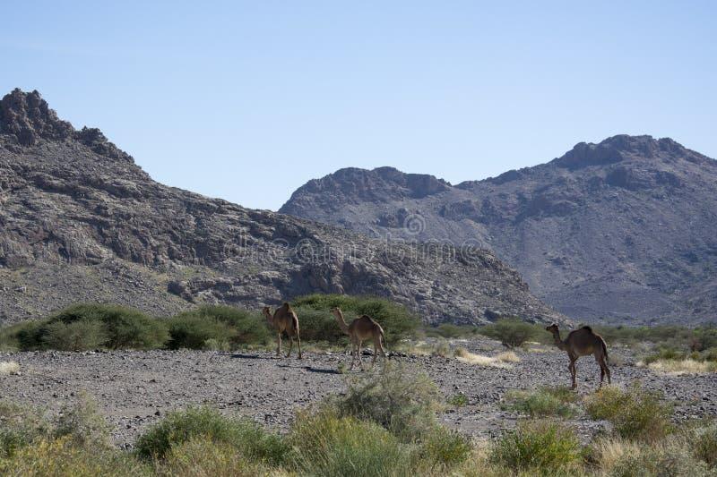 Kamelen in woestijn Oman stock foto's