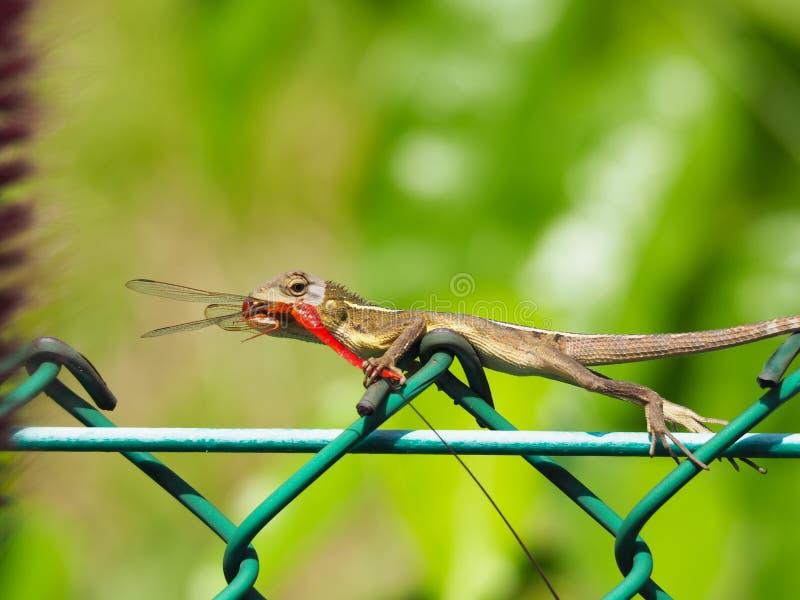 Kameleon Łapie Dragonfly fotografia royalty free