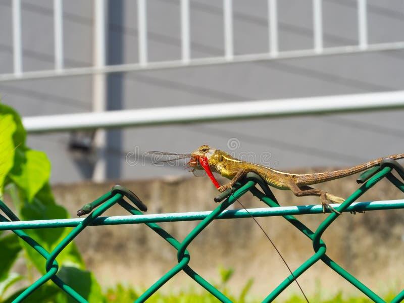 Kameleon Łapie Dragonfly fotografia stock