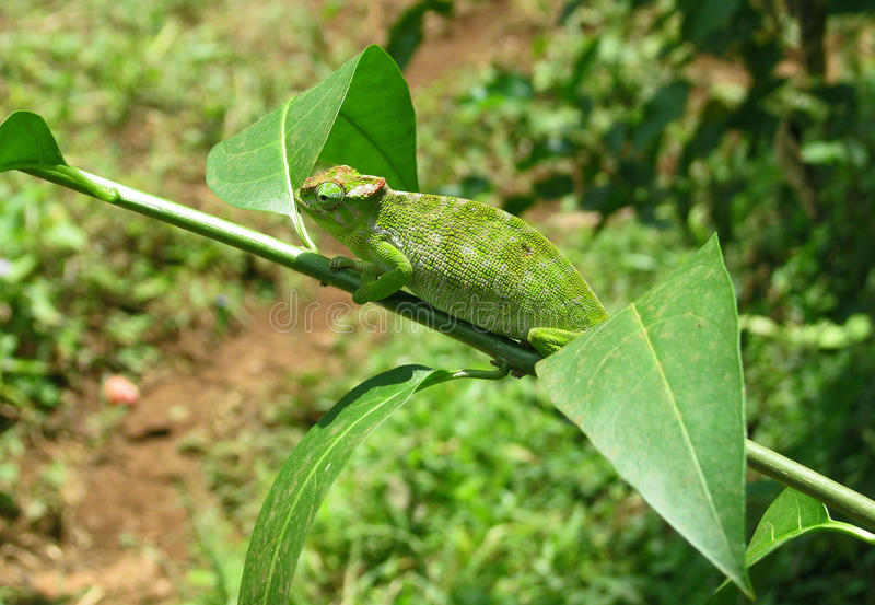 kameleon zdjęcia stock